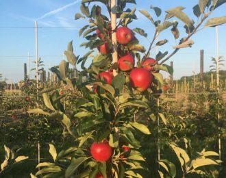 Appelboom 'Elstar' hoogstam