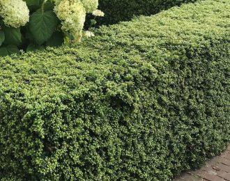 Japanse hulst 'buxus vervanger' (Ilex crenata Luxus Hedge)