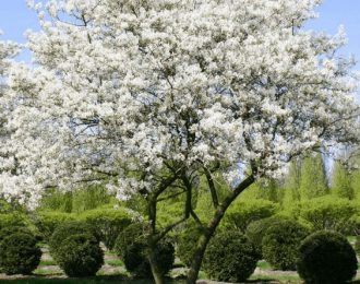 Krentenboompje (Amelanchier lamarckii)