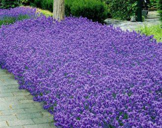 Lavendel (Lavendula)