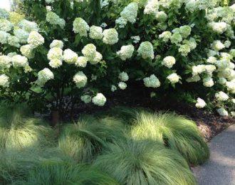 Pluimhortensia (Hydrangea Paniculata)