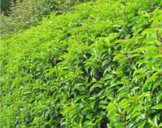 Portugese Laurier (Prunus Lusitanica)
