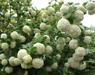 Sneeuwbal (Viburnum) alle soorten